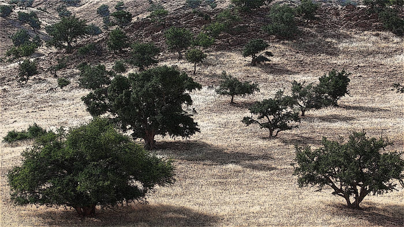 argania spinosa argan træ