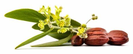 Jojoba plante