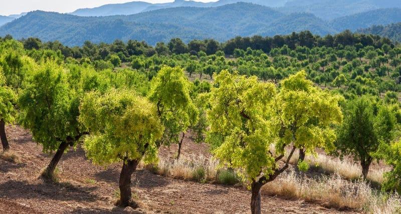 stor mark med mandeltræer