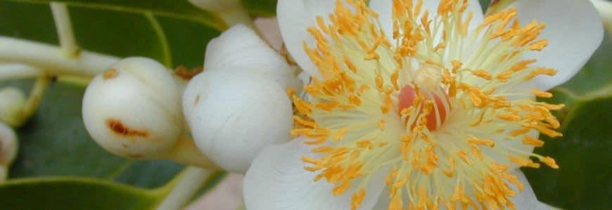 Tamanu blomst