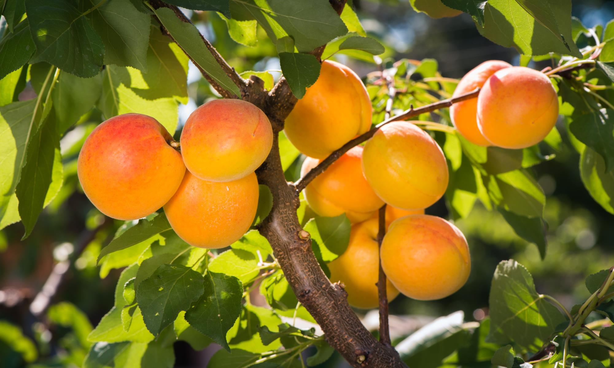 abrikos - abrikoskerneolie - prunus armeniaca