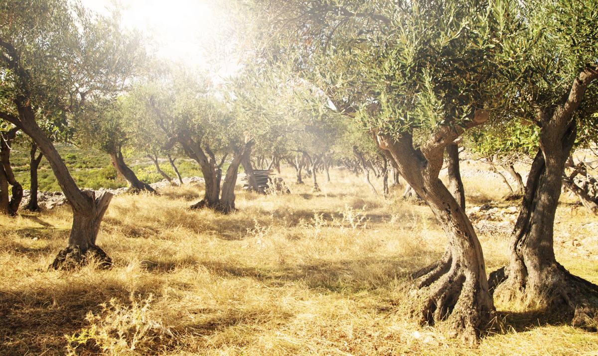 oliventræ på grøn græsmark