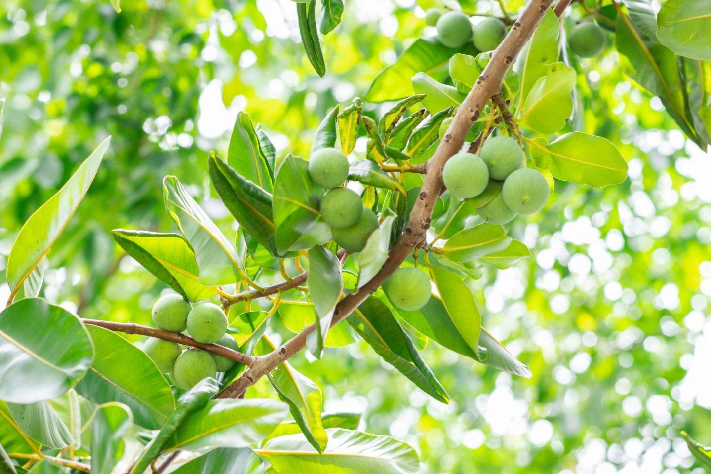 tamanu-blade-frugt